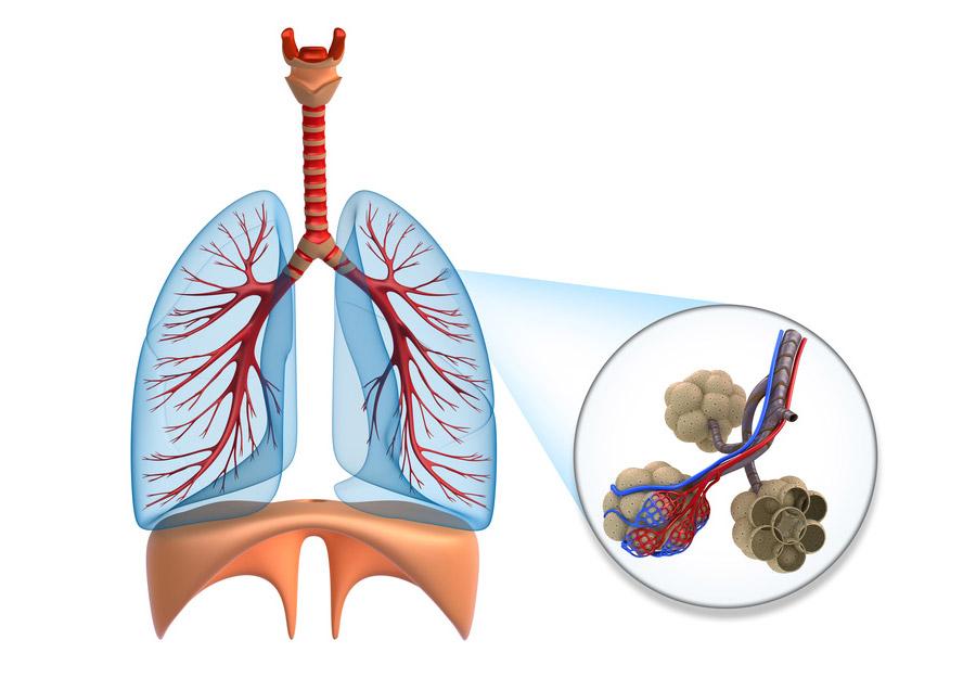 Lungenbläschen (Alveolen)